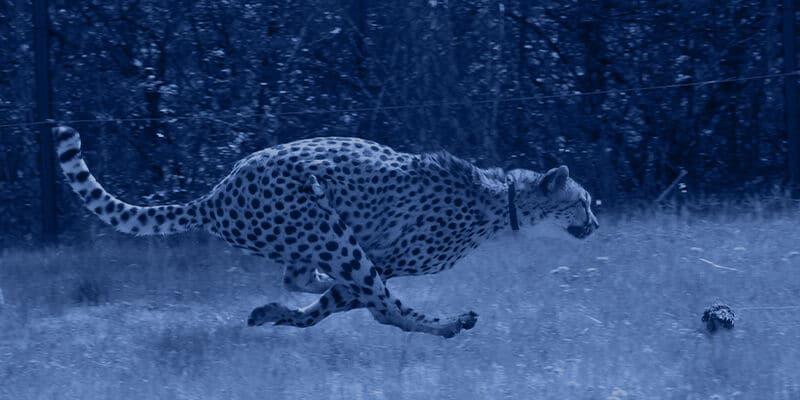 large-cheetah